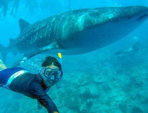 Whale Shark Snorkeling 鯨鯊浮潛