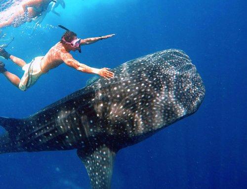 Whale Shark Trip 鯨鯊共游